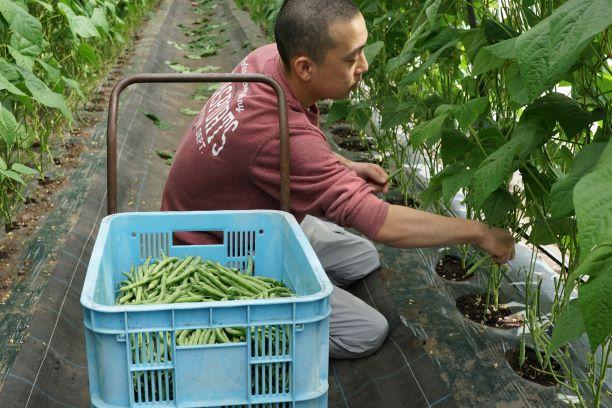 朝早いからこそ、美味しいいんげんが収穫できる。