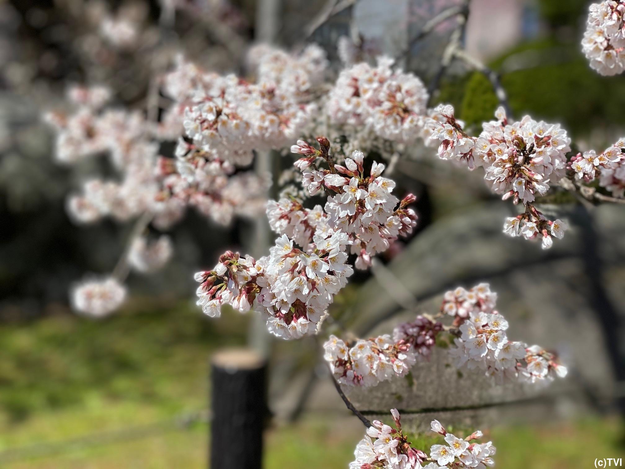 (石割桜・9日午前11時撮影)